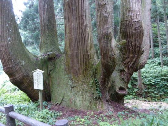かぶら杉①.JPG