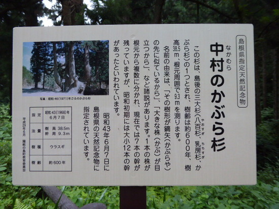 かぶら杉②.JPG