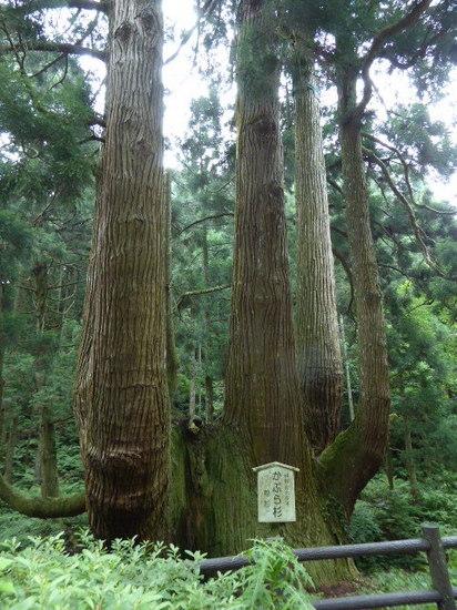 かぶら杉③-2.JPG