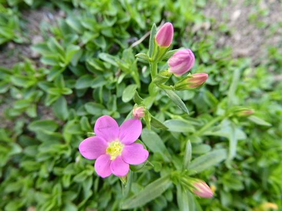 ピンクの小花.JPG