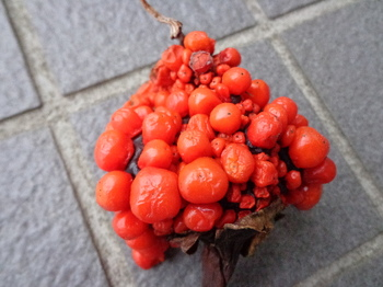 マムシ草の実.JPG