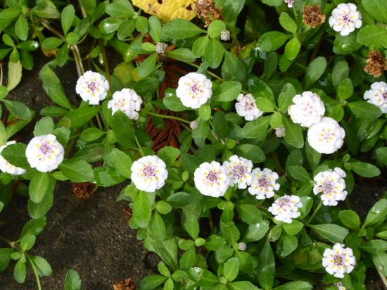 白い小花.JPG