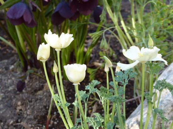 花びし草① エスコルチア.JPG