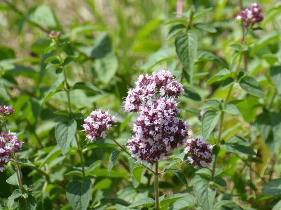 雑草地の花2.JPG