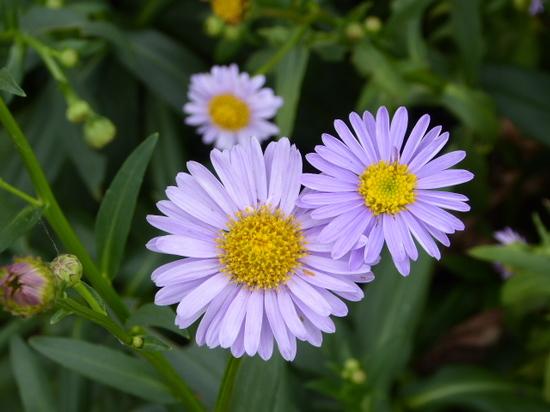 青い花②.JPG