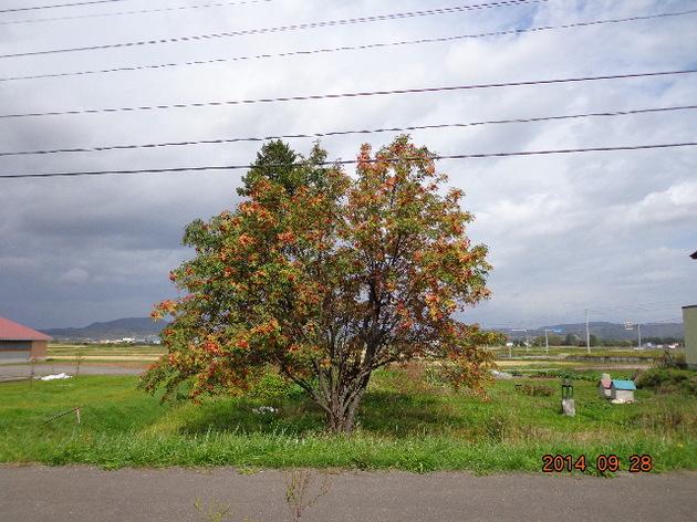 ナナカマド 3.JPG