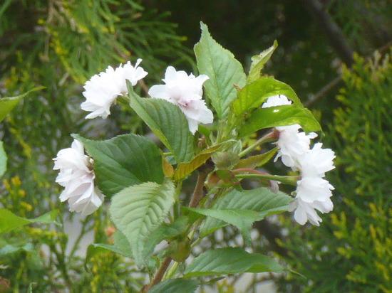 当家の桜①.JPG