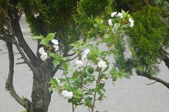 当家の桜②.JPG