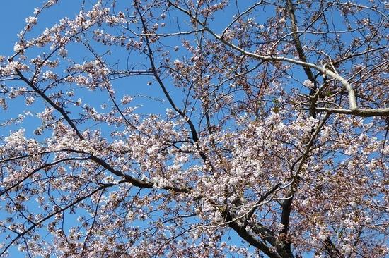 桜 5月4日①.JPG