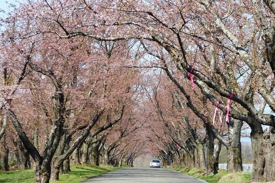 桜 5月4日②.JPG
