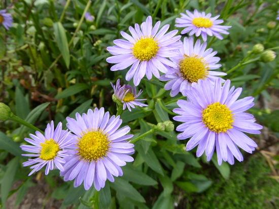 青色の花②.JPG
